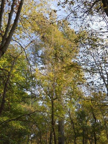Southern Magnolia Magnolia Grandiflora American Forests