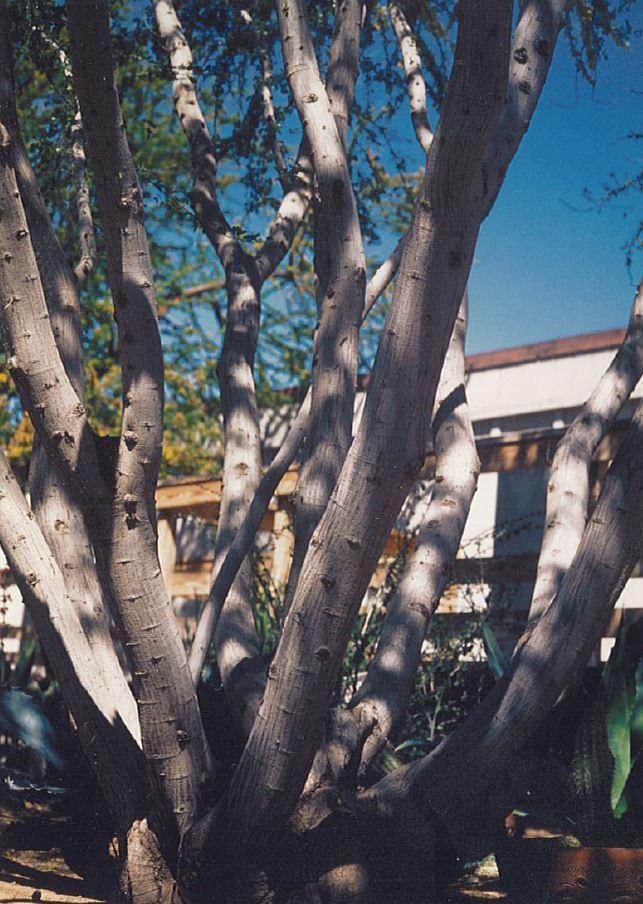 Blackbrush Acacia Acacia Rigidula American Forests