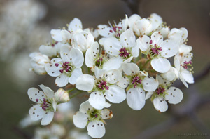 Healthy Bradford pear blooms