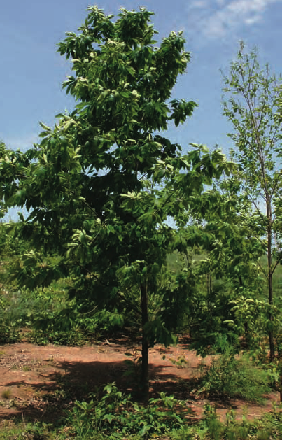 Revival of the American Chestnut American Forests