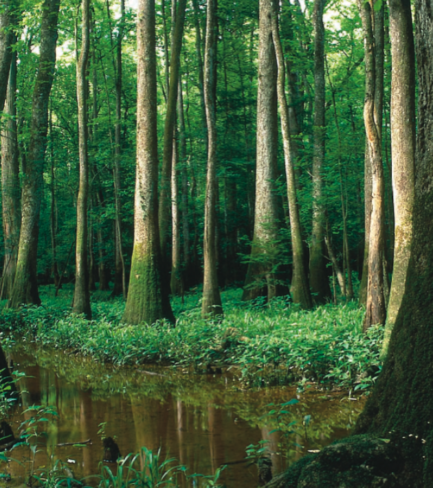 Congaree Where The Trees Are Still Tall American Forests