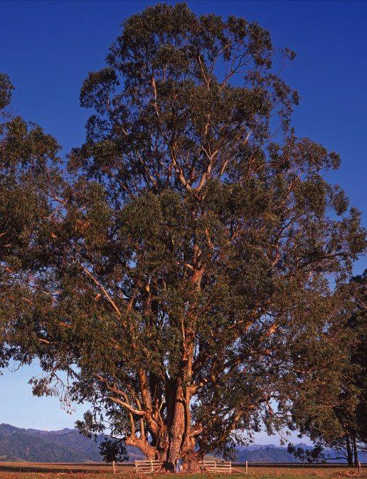 Bluegum Eucalyptus American Forests