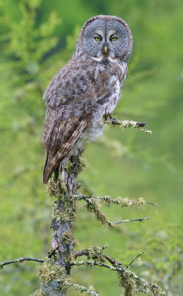 Last Look: Great Gray Owl - American Forests