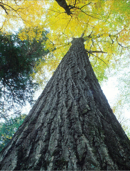 Northern Red Oak ~ Northern red oak american forests