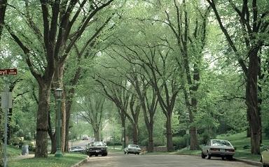 American elms