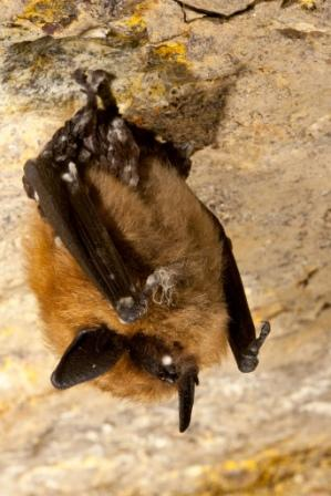 Eastern small-footed bat with white-nose syndrome