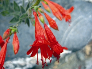 California fuschia