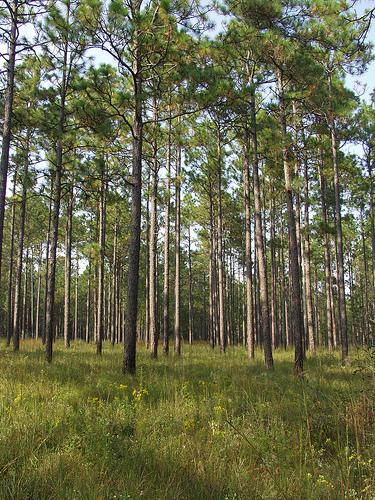 Longleaf pine. Credit: Randy Browning/USFWS