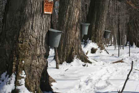 Trees being tapped for maple sap in New York