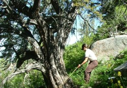 curlleaf mountain mahogany