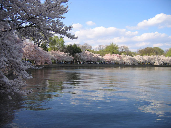 Cherry blossoms surround the Tidal Basin in Washington, D.C.