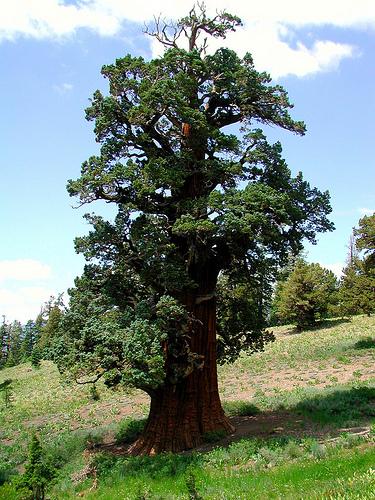 bennett western juniper
