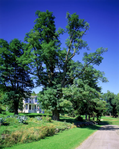 dethroned national champion black locust tree