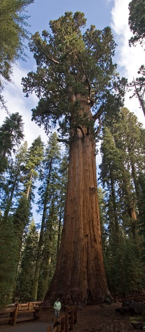 general sherman giant sequoia