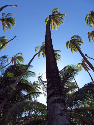 Hawaii's champion palm coconut