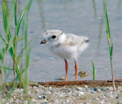 Piping plover at Chincoteague National Wildlife Refuge in Maryland