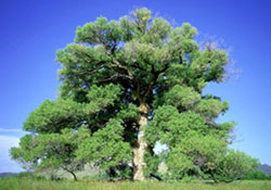 Rio Grande Cottonwood