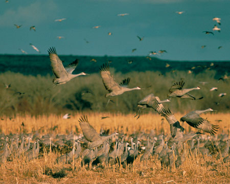 Sandhill cranes taking flight at Lake Andes National Wildlife Refuge, South Dakota
