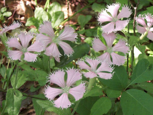 Fringed campion