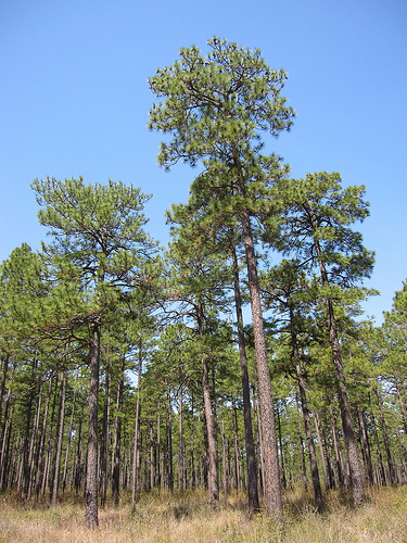 Longleaf pine forests now span only three percent of their historic range, which extended from eastern Texas to southern Virginia.