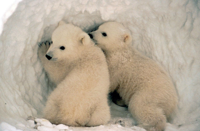 Polar bears have been listed as threatened since 2008