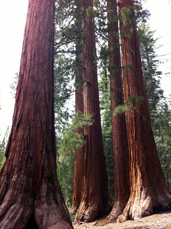 Giant sequoia trees in the Mariposa Grove, Yosemite National Park