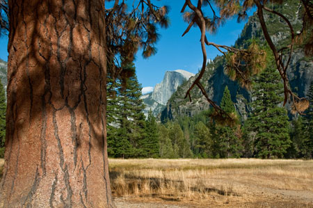 Ponderosa pine in Leidig Meadow in Yosemite Valley