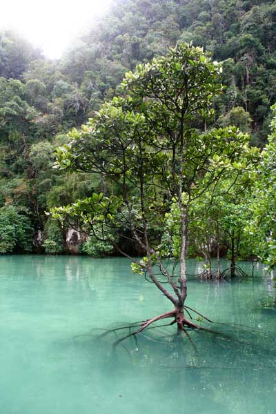 Mangroves in Koh Hong, Thailand