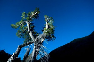 50% of whitebark pine stands have already suffered high to complete mortality in the Greater Yellowstone Area.  Copyright James Balog