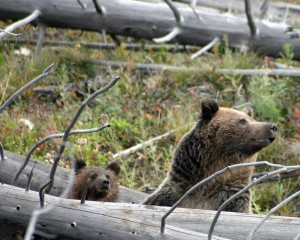 Approximately half of the remaining grizzlies in the U.S. are located in the Greater Yellowstone Area. Copyright Josh Westerhold