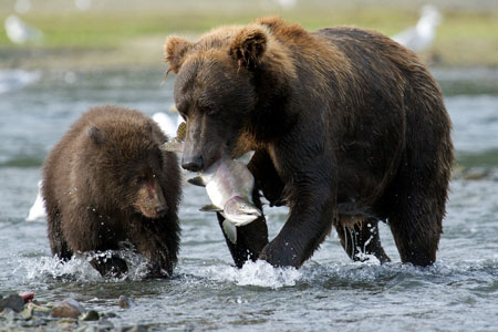 Brown bears in Katmai National Park & Preserve, Alaska
