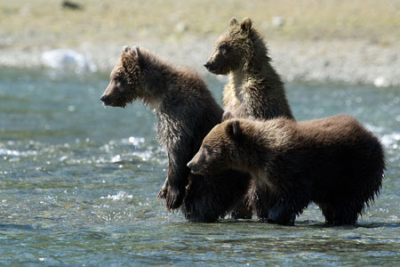 Brown bear cubs in Katmai National Park & Preserve, Alaska
