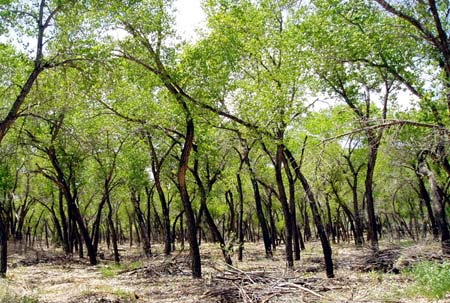 A cottonwood forest