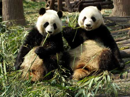 Giant pandas eating bamboo at the Chengdu Panda Base, Sichuan, China