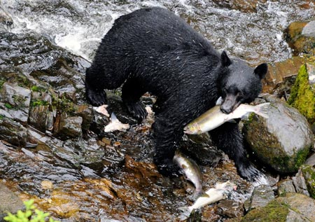 A bear feasts on salmon in an Alaskan river