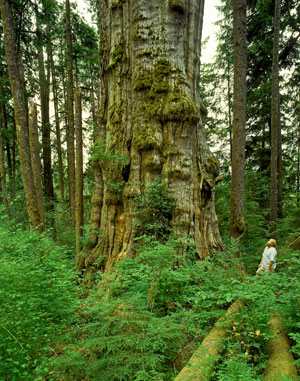 The national champion western redcedar in Olympic National Park