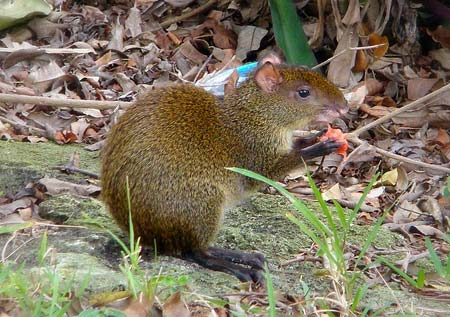 An agouti enjoys some fruit in Playa del Carmen.