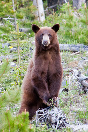 A black bear in Waterton Lakes National Park in Alberta, Canada.