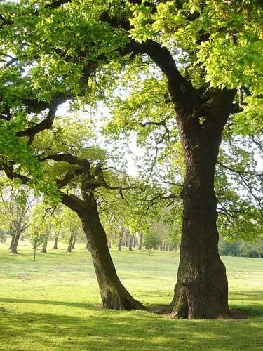 Old oaks in Gladstone Park, California.