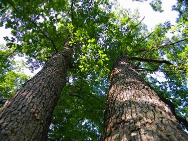 An oak tree in Kensington Metro Park, Michigan.
