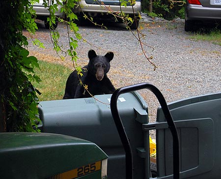 Bear rummaging through trash