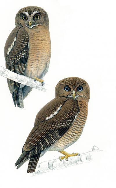 Top left: Cebu hawk-owl. Bottom right: Camiguin hawk-owl