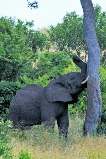 Elephant in Kruger National Park.
