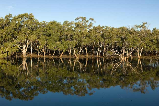 Grey mangroves