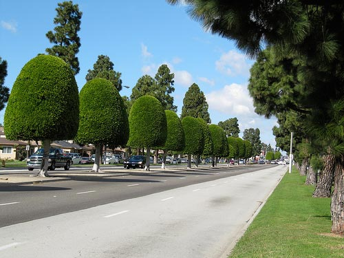 Ficus trees line the streets of Inglewood, California
