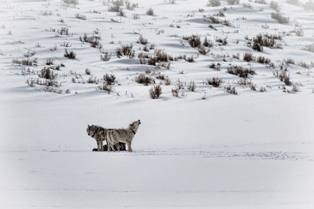 Wolves in Lamar Valley, Yellowstone National Park