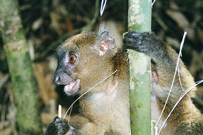 Greater bamboo lemur.