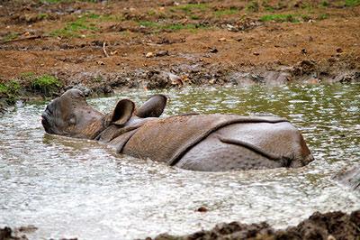 Javan rhinocerous.