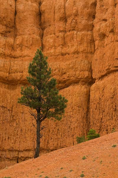 A pinyon pine on the lower slopes of Bryce Canyon in Bryce Canyon National Park