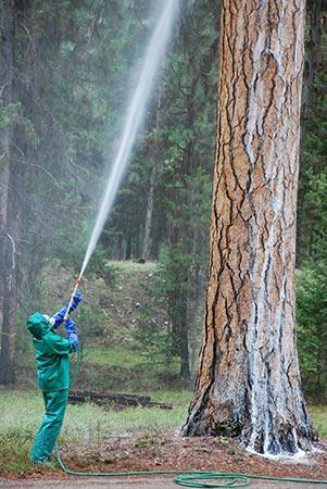 Contractor sprays ponderosa pine